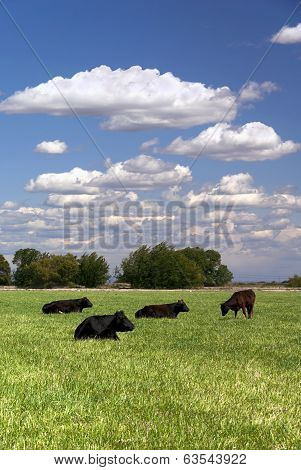 Ranch cattle rest and graze on Spring pasture with white cloudscape behind. poster