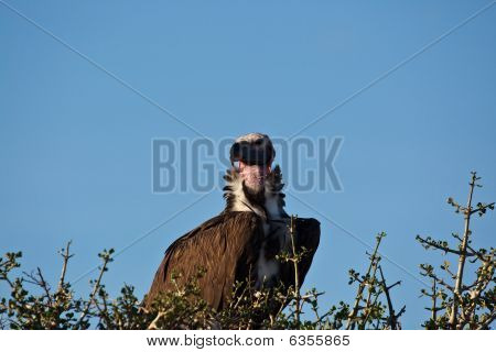 Lappet konfrontiert vulture