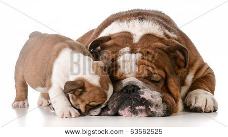 bulldog father and son isolated on white background poster