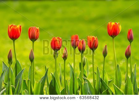 A Line Of Yellow And Orange Tulips
