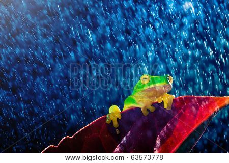 Small green tree frog sitting on red leaf in rain