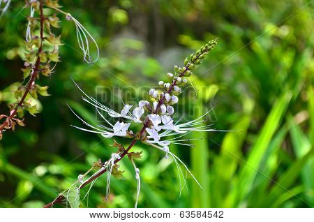 Cat's whiskers or Orthosiphon stamineus flower in the garden poster