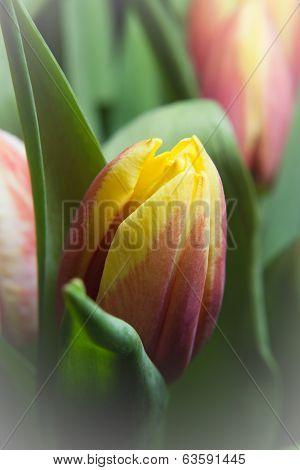 Newborn Tulip