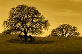 Amber silhouette of oak trees horses California foothill rangeland. poster