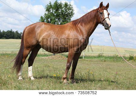 Beautiful Chestnut Warmblood Standing On Green Field