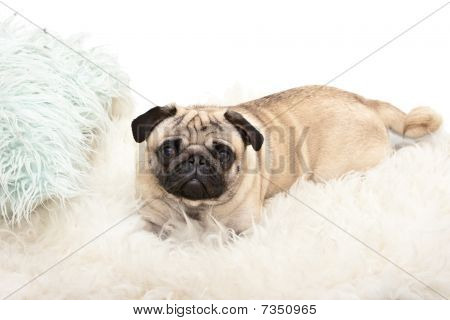 Photo of sweet little pug on white carpet poster