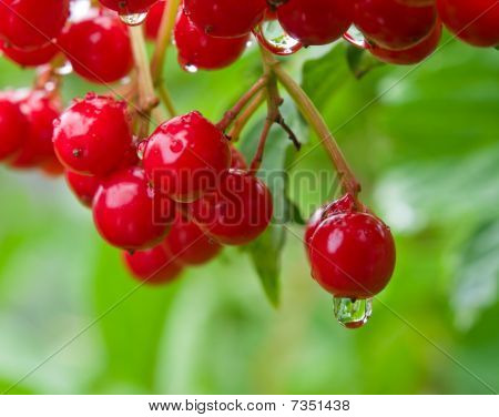Red Berries And Rain