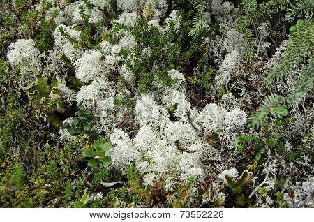 Raindeer moss