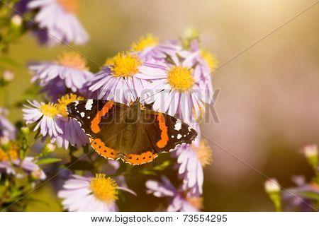 An image of a nice butterfly Vanessa atalanta