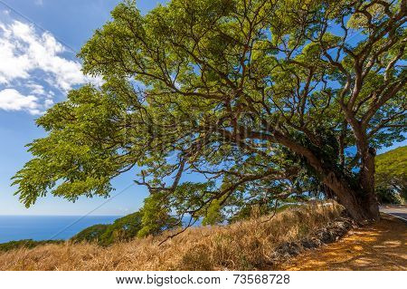 Huge Tree On The Coastline