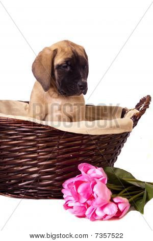 English mastiff puppy in a wicker basket and spring flowers. Isolated on a white background. poster