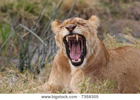 Yawning young lion