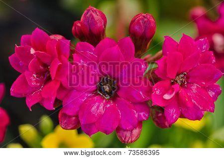 Purple  Kalanchoe / Succulent