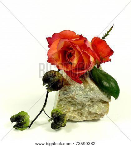orange rose with adorn physalis