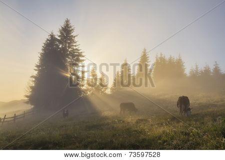 Grazing cow on misty morning meadow. Ukraine. Carpathians. poster