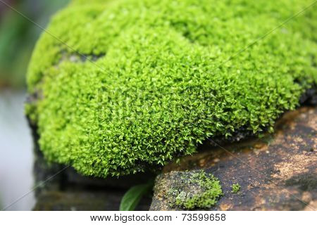 Green moss in rock