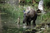 Closeup of a Moose feeding in a pond in Montana. poster
