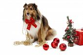 Elegant shetland sheepdog with christmas ornaments poster