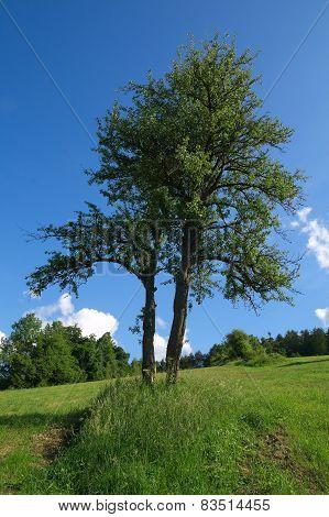 Skew Tree In The Field