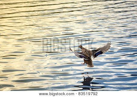 Female Duck Landing