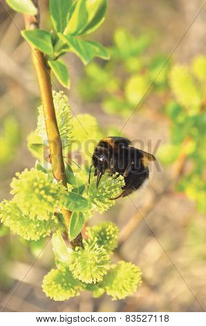 Bumblebee Collecting Nectar On Flowering Blooming Blossoming Pussy Willow Bush Shrub Flowers Branch