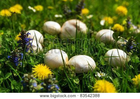 Mystical beautiful fairy ring of white mushrooms poster