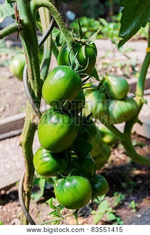 green tomatoes growing on the branch