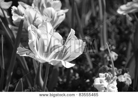 Striped Monsella Tulips