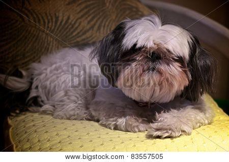 Portrait Of Shitzu Dog Looking At Viewer