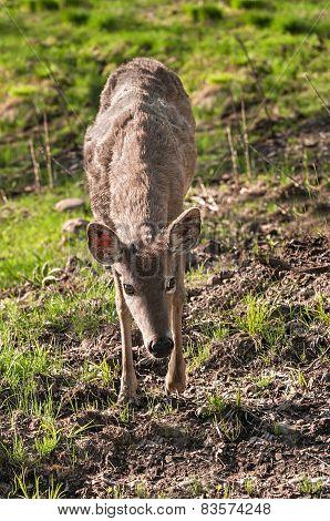 White-tailed Deer (odocoileus Virginianus) Walks Towards Viewer