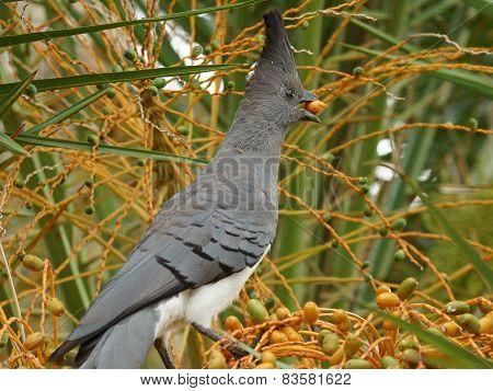 White bellied Go away bird, Ethiopia, Africa poster