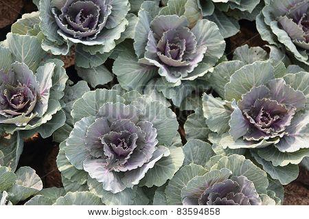 Purple Longlived Cabbag, Brassica Hybrid Cv. Pule