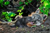 Grey Fox Kit (Urocyon cinereoargenteus) Sniffs at Mother's Mouth - captive animals poster