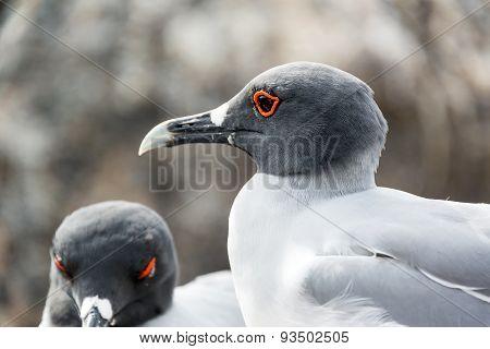 Swallow Tailed Gull Closeup