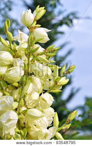 Yucca Bushes In Bloom Closeup