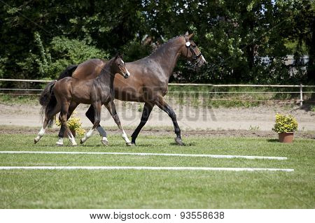 Brown Mare With Foal At Foot