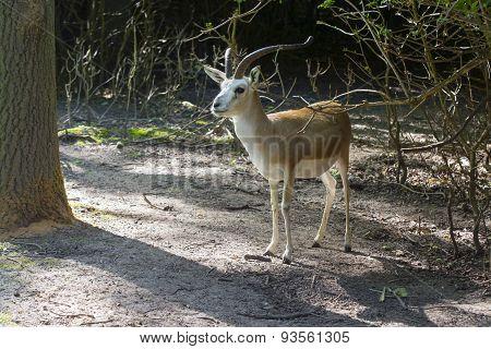 Goitered Gazelle  (gazella Subgutturosa)