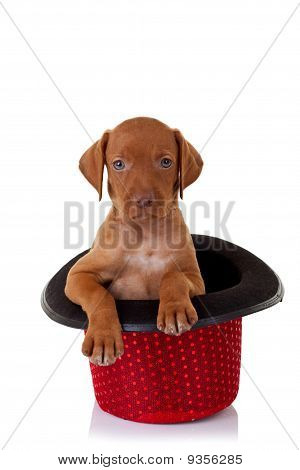 picture of a vizsla puppy in a red show hat poster