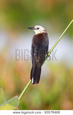 Leucistic Boat-tailed Grackle (quiscalus Major) With A White Head