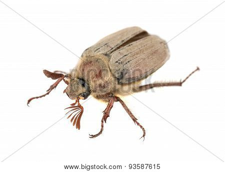 Brown Chafer Bug