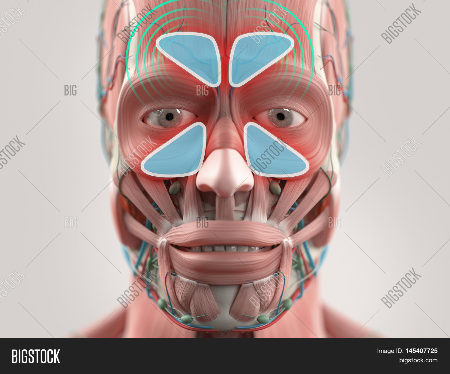 Anatomy Model Showing Image Photo Free Trial Bigstock
