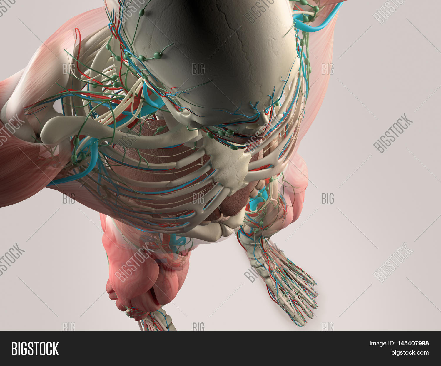 Human Anatomy Detail Image Photo Free Trial Bigstock