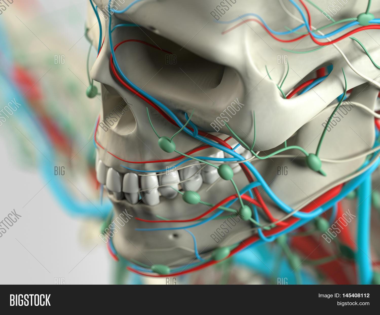 Human Anatomy Detail Image & Photo (Free Trial) | Bigstock