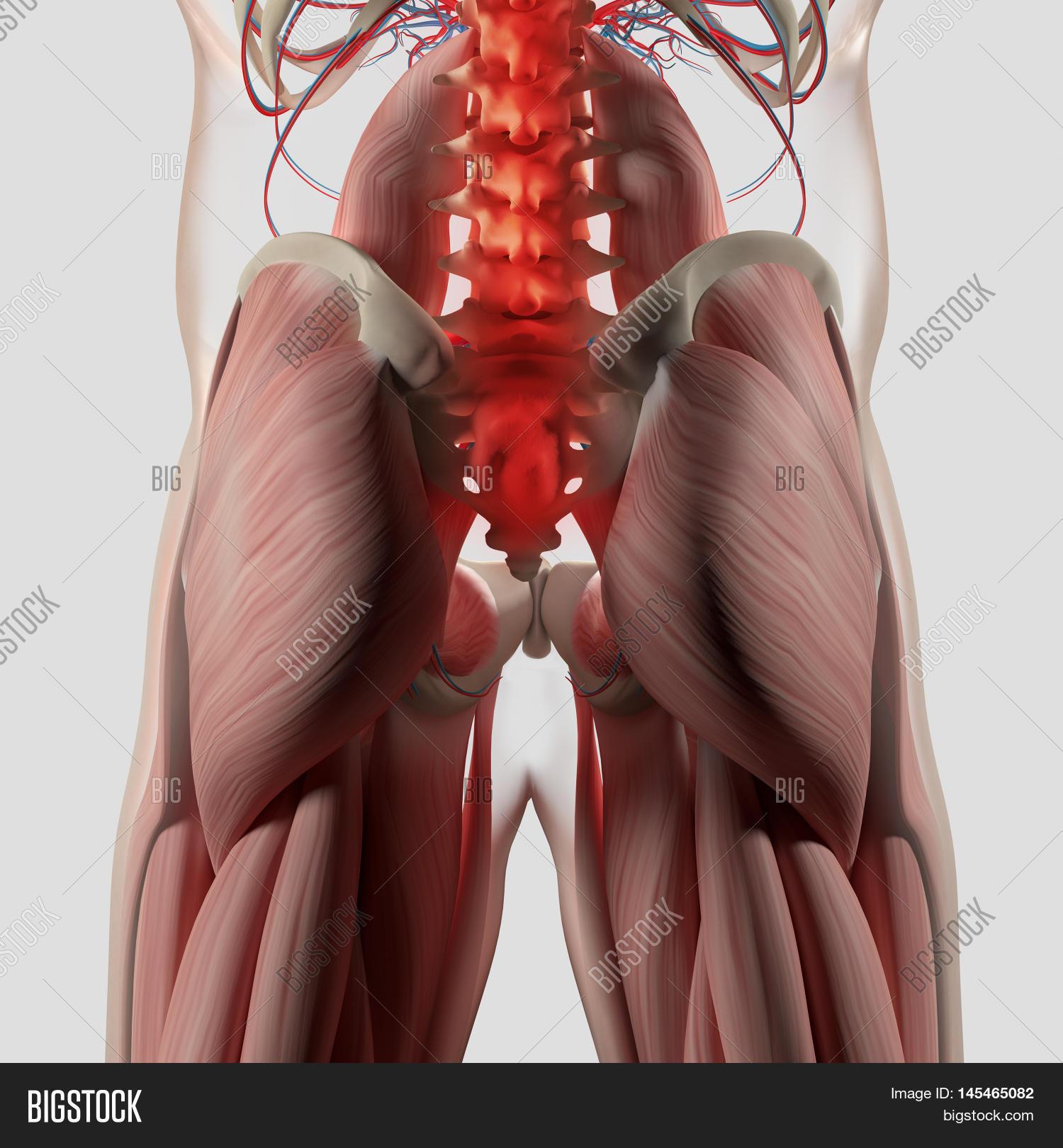 Human Anatomy, Spine, Image & Photo (Free Trial) | Bigstock