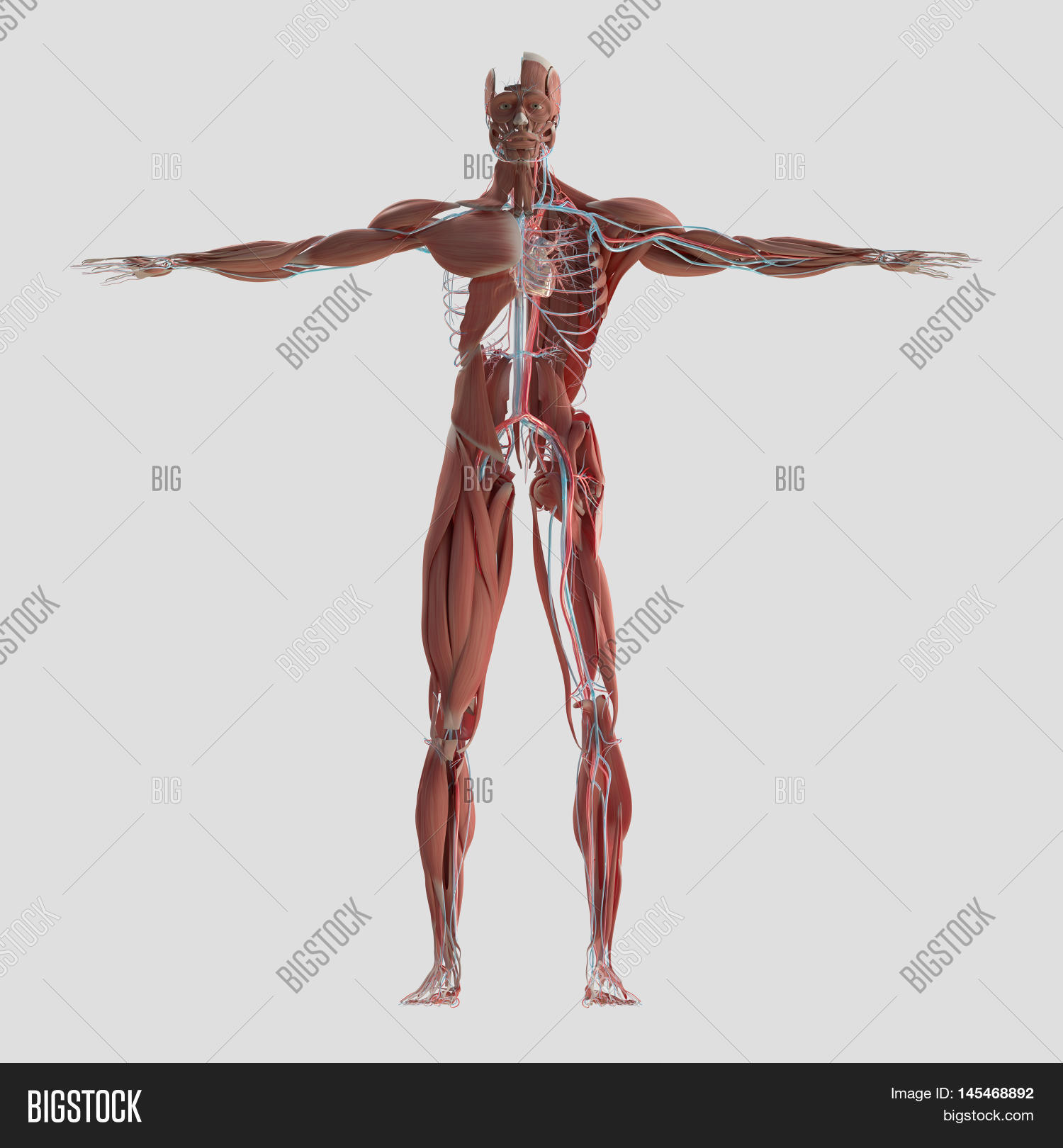 Human Anatomy Full Image & Photo (Free Trial) | Bigstock