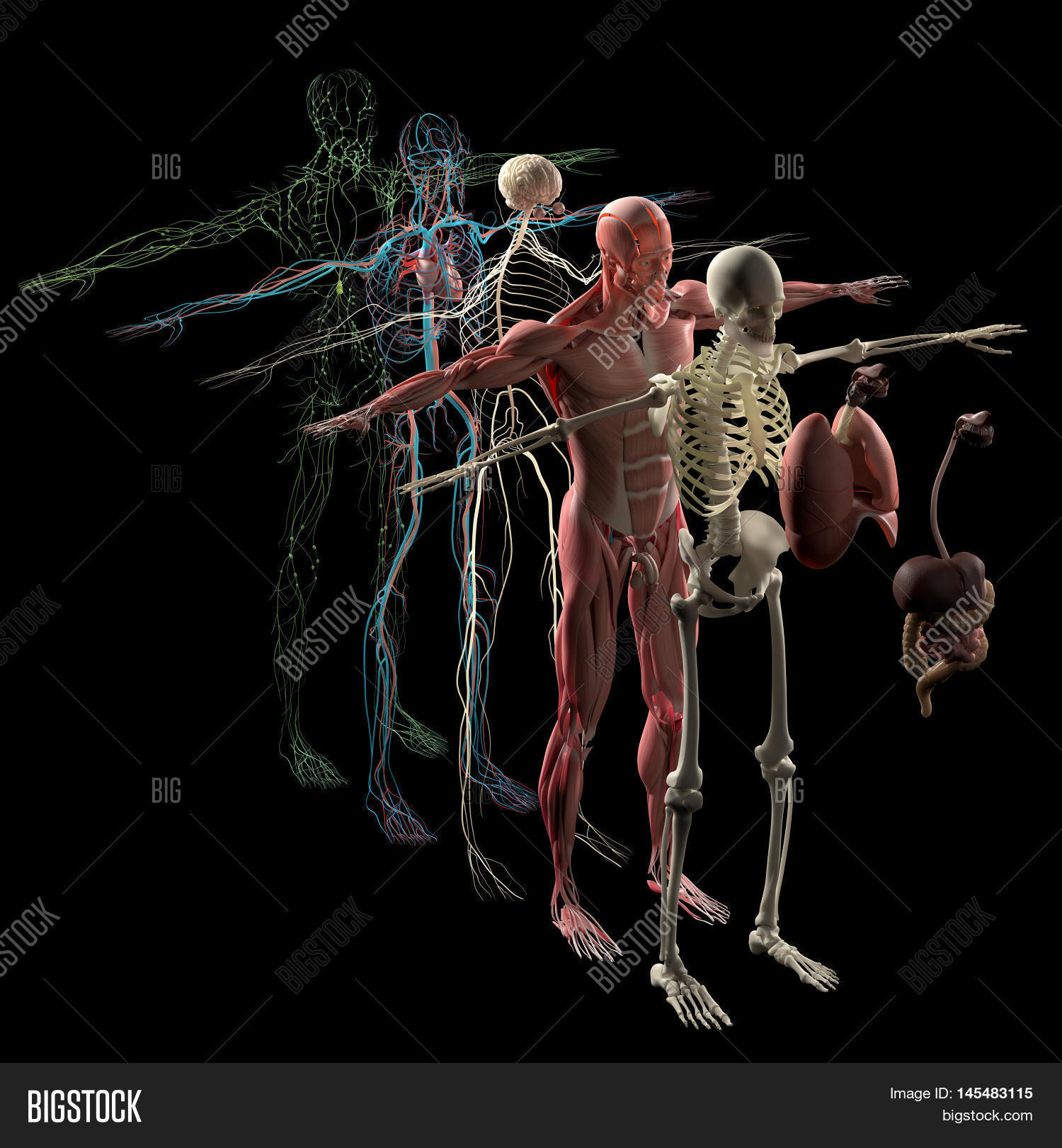 Human Anatomy Exploded Image & Photo (Free Trial) | Bigstock