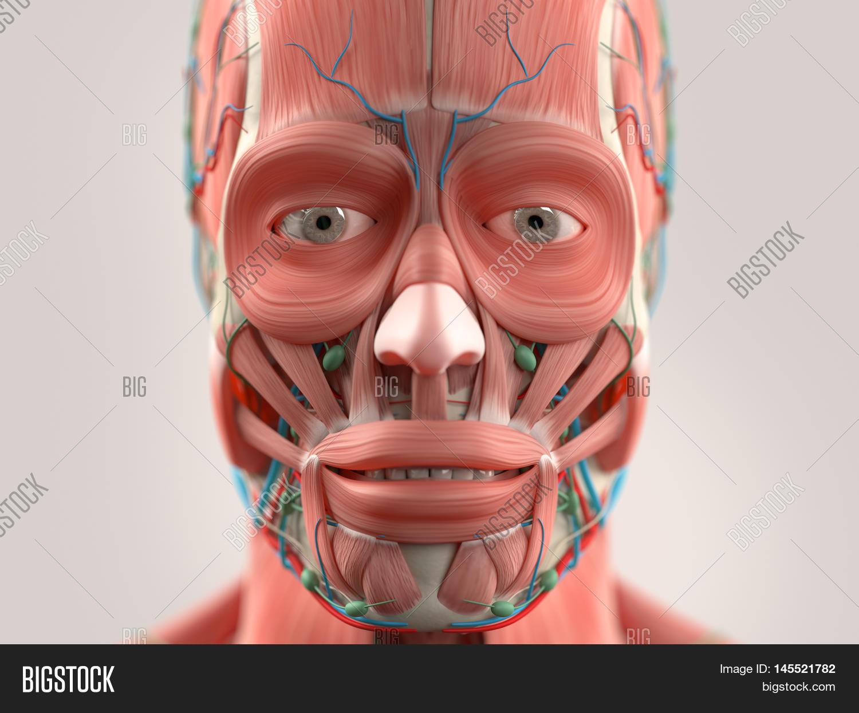 Human Anatomy Face Image & Photo (Free Trial) | Bigstock