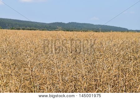 Rape on the field before threshing harvester. Background forest.