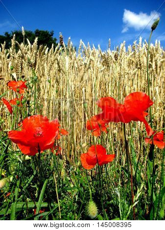 poppies in the middle of a wheat field