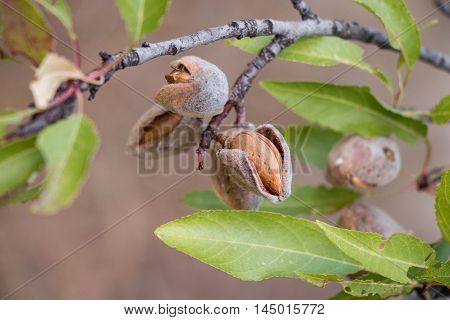 Ripe almond nuts on the branches of almond tree in early autumn. Ripe almonds on the tree branches. Horizontal. Daylight.